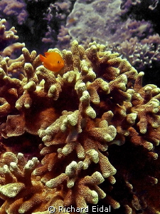 Taken in a dive at Puerto Galera.  This little guy was cu... by Richard Eidal 